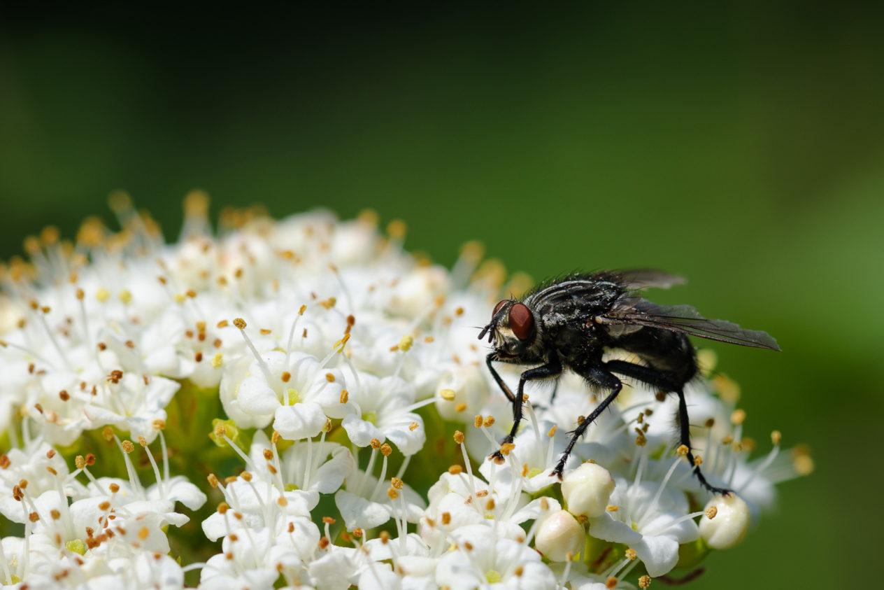 Macro shot of a fly sitting on white spring flowers. The Fly - Copyright Johan Peijnenburg - NiO Photography