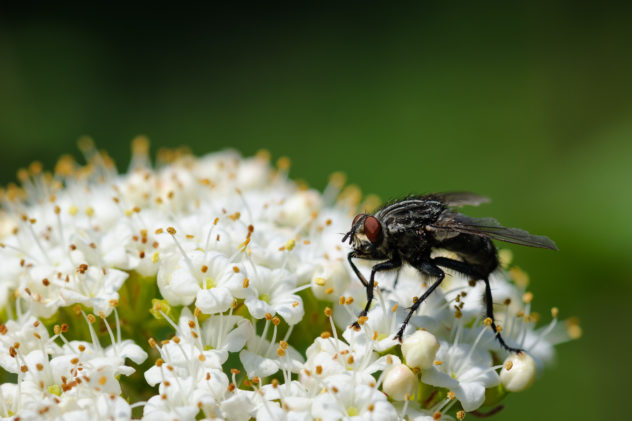 Macro shot of a fly sitting on white spring flowers. The Fly - Copyright Johan Peijnenburg - NiO Photography