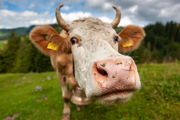Close up of a brown and white coloured cow ... through the lens it looked a lot further away then it actually was. A cow - Copyright Johan Peijnenburg - NiO Photography
