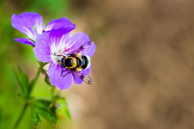 A close-up of a bumblebee collecting nectar from a Geranium Sylvaticum flower (wood cranesbill, woodland geranium). At Work - Copyright Johan Peijnenburg - NiO Photography