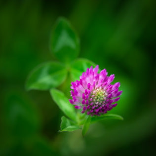 A close-up of a clover flower (trefoil) in lilac soaking up the sun against a greenish background. Soaking up the Sun - Copyright Johan Peijnenburg - NiO Photography