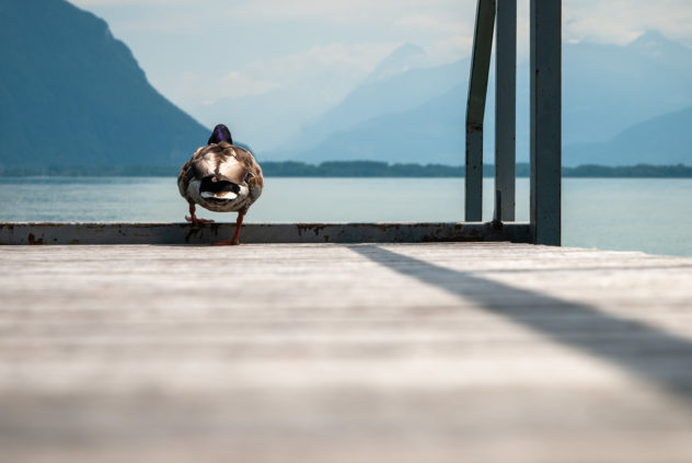 A lake landscape captured at the shores of Lac Léman, featuring a duck on a pier that is just about to set sail. A duck - Copyright Johan Peijnenburg - NiO Photography