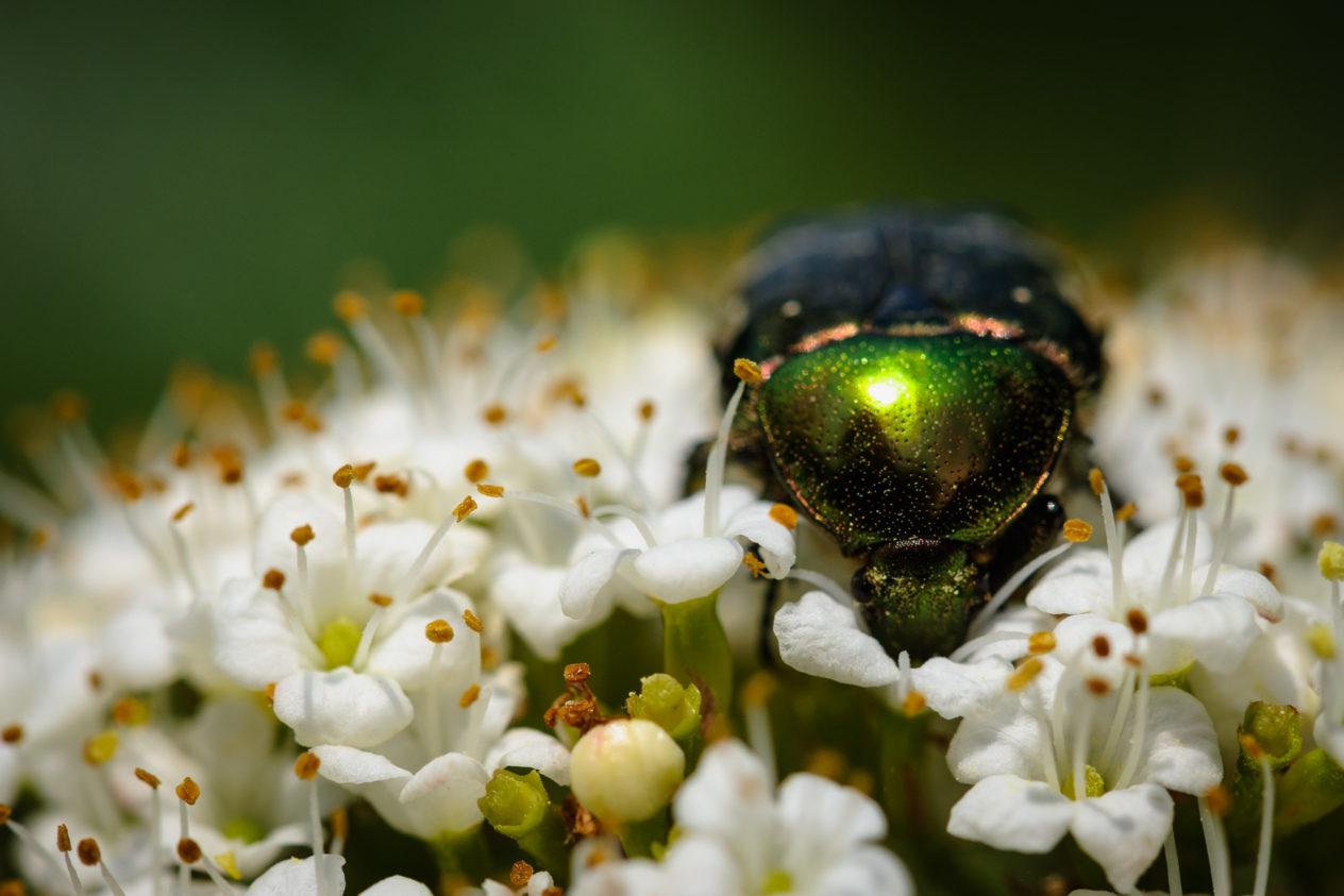 A macro photograph featuring a  shiny green beetle on a white flower. Green beetle - Copyright Johan Peijnenburg - NiO Photography