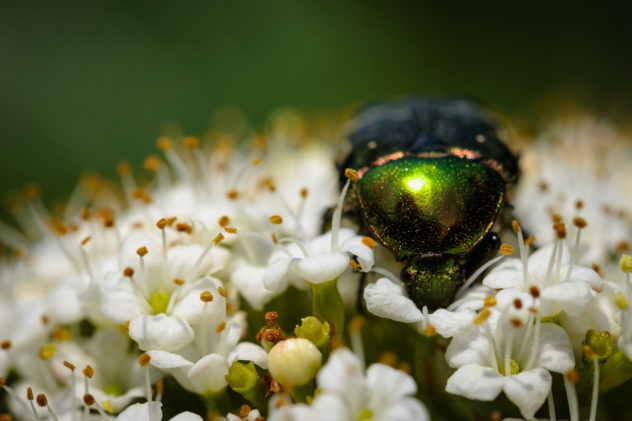 A macro photograph featuring a  shiny green beetle on a white flower. Green beetle - Copyright Johan Peijnenburg - NiO Photography