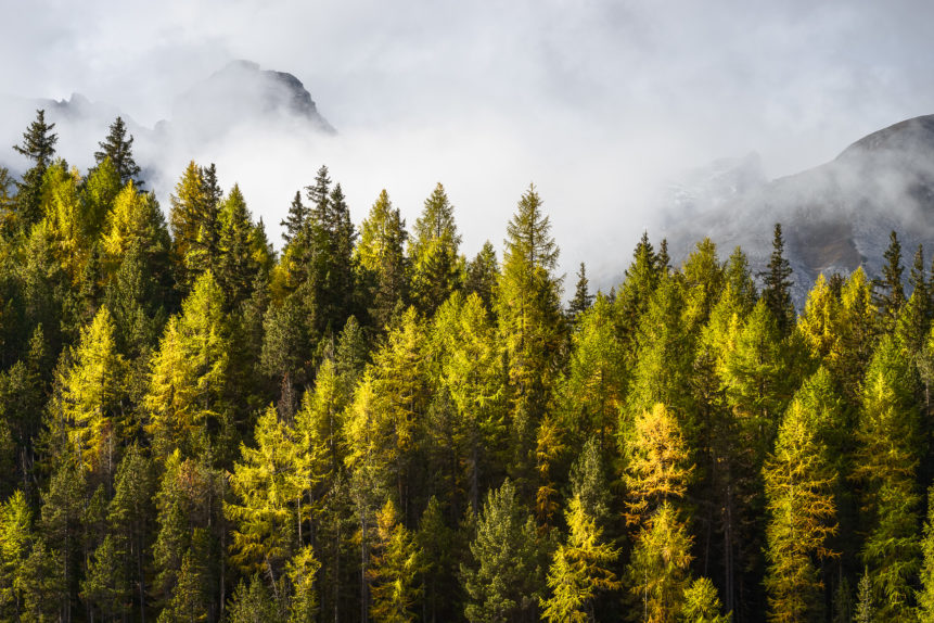 An autumnal landscape, featuring an alpine larch tree forest with its vibrant yellow fall colours, rising fog and the Alps in the back. Fall Colours & Fog - Copyright Johan Peijnenburg - NiO Photography