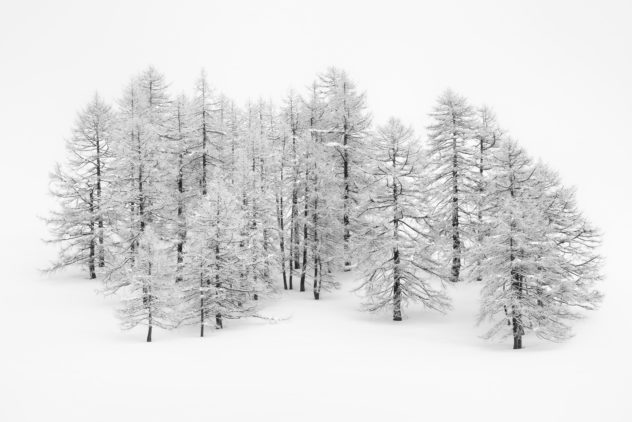 A minimalist winter landscape in black & white featuring a larch trees covered with snow and hoar-frost, surrounded by fresh snow. Standing Tall - Copyright Johan Peijnenburg - NiO Photography
