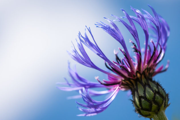 Close up of a blue Mountain Cornflower (Centaurea montana). It grows in alpine meadows and open woodland and flowers mainly from May to August. Mountain Cornflower - Copyright Johan Peijnenburg - NiO Photography