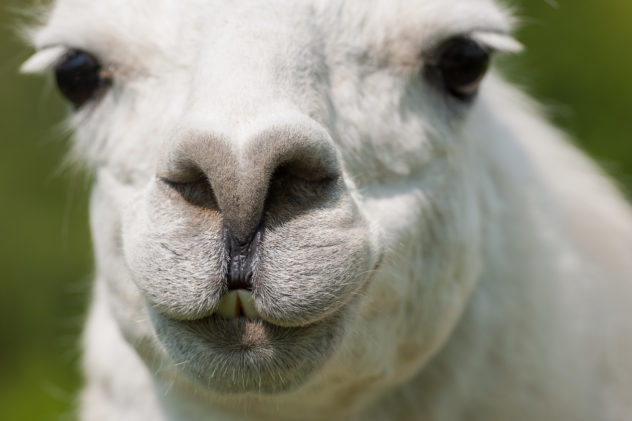 A portrait of a white llama up close and personal. A llama up close - Copyright Johan Peijnenburg - NiO Photography